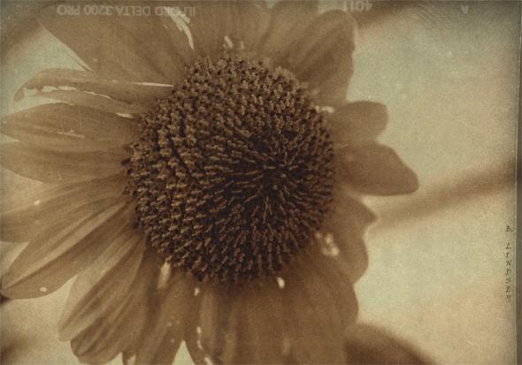 SunflowerMJ
