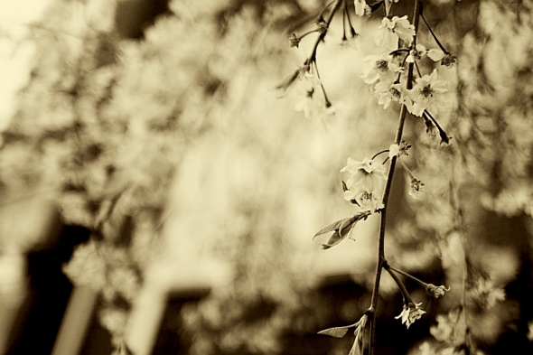 Cherry Blossomsmj